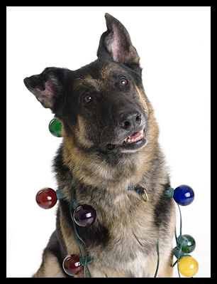 German Shepherd Dog wrapped in holiday lights