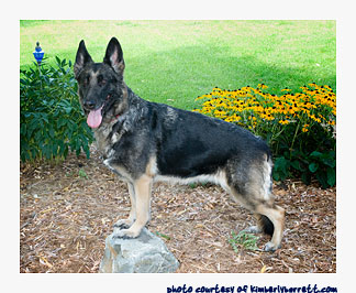 Phoenix, German Shepherd Dog