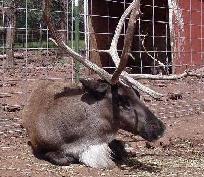 Reindeer laying